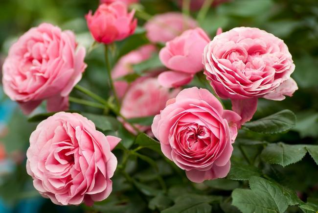 Правильный уход за цветами осенью — залог их успешной зимовки, интенсивного завязывания бутонов весной и пышного цветения летом