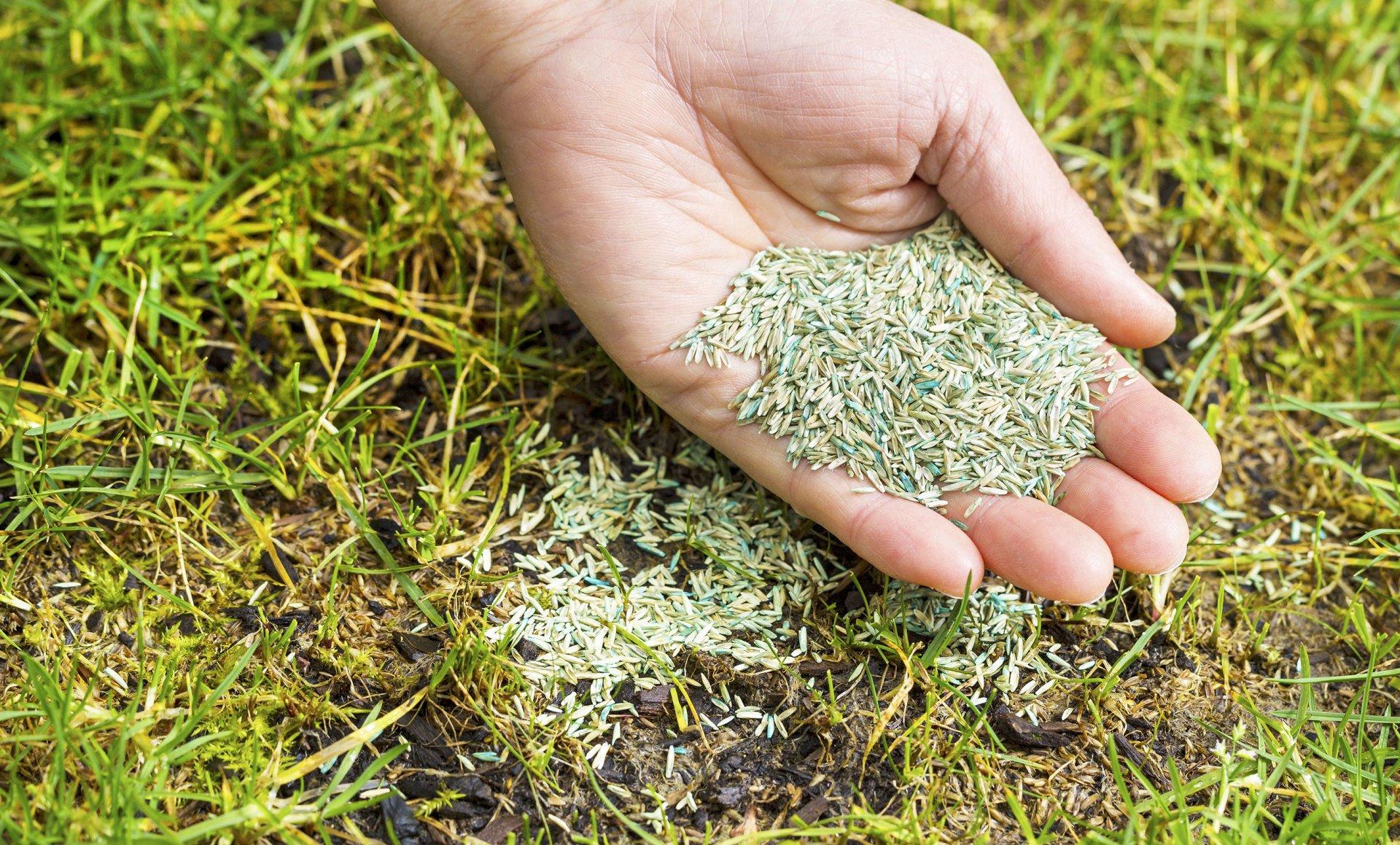 Семена травы, смешанные с удобрениями. Для более равномерного ручного посева в процессе смешивайте семена с песком