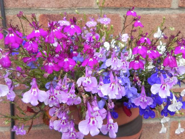 Цветы лобелии разных цветов вместе смотрятся очень эффектно