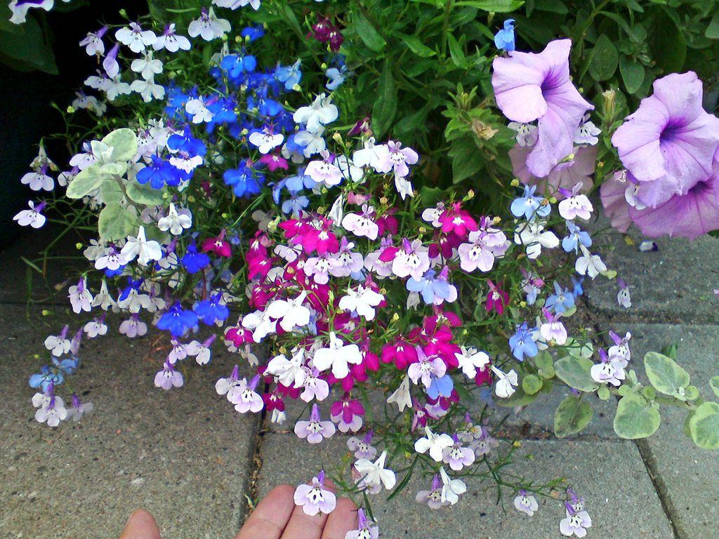 Лобелия 75 фото: яркое цветение на весь теплый период ()