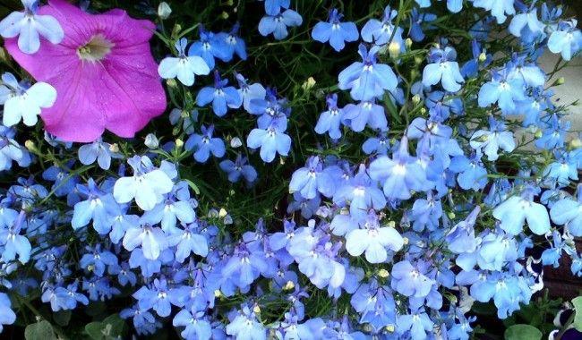 Лобелия со светло-голубыми цветами