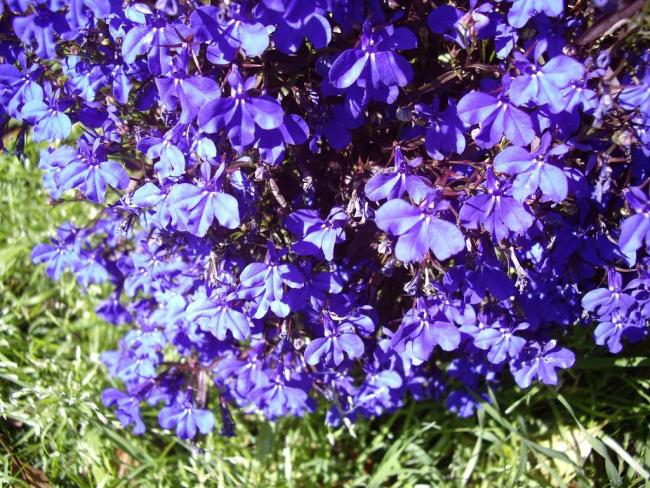 Лобелия с сиреневыми цветами