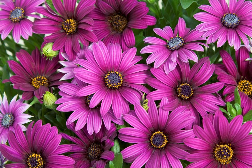 Яркие цветки остеоспермума поднимают настроение и используются в качестве цветовых акцентов