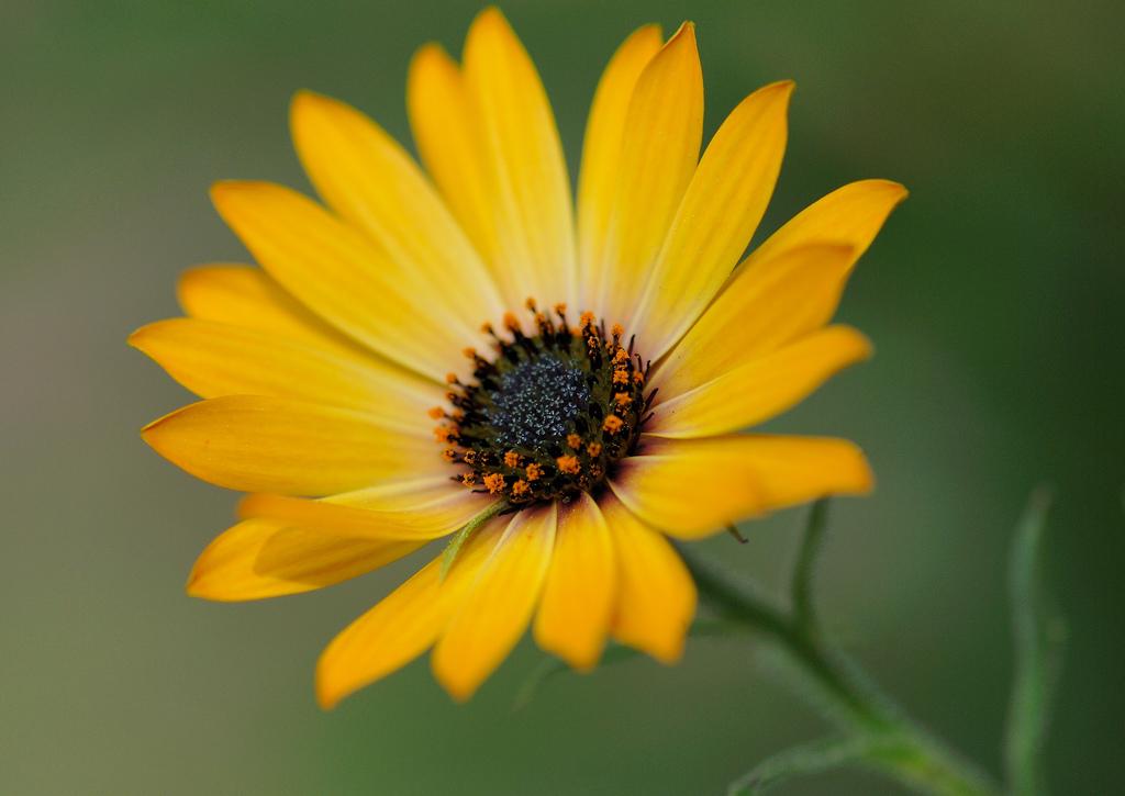 Остеоспермум 105 лучших фото Виды, выращивание и уход
