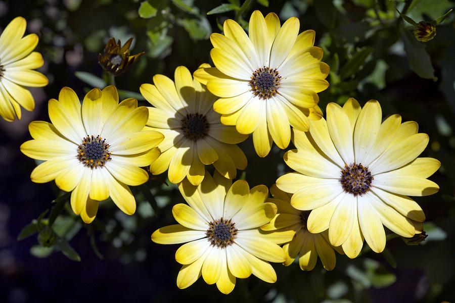 Буттермилк имеет желто-белые цветы с градиентным переходом