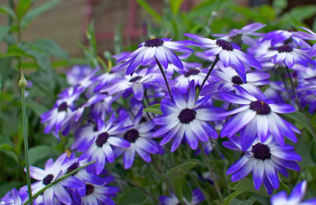 Небо и лед имеет бело-синие лепестки и фиолетовый окрас сердцевины цветка