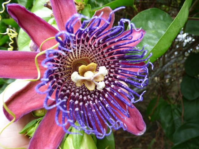 Пассифлора - не только красивый декоративный цветок, который выращивается дома, но и очень полезное растение