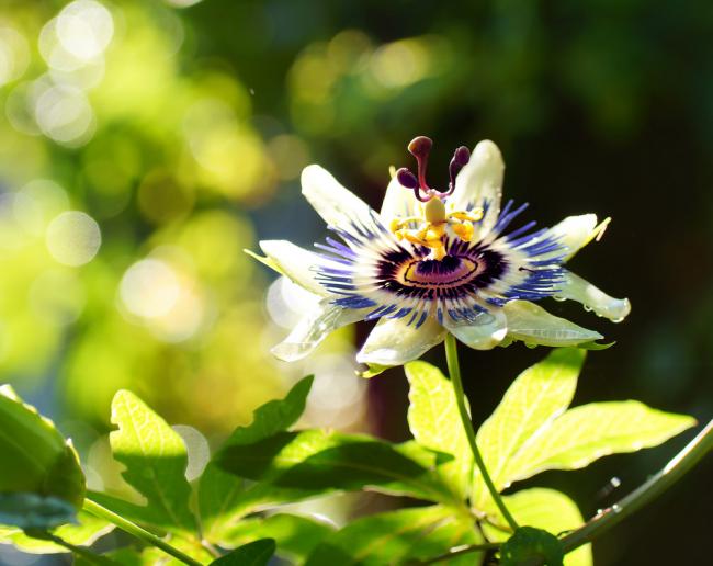 Роскошный цветок привлекает и незваных гостей-паразитов, поэтому важно следить и тщательно ухаживать за пассифлорой