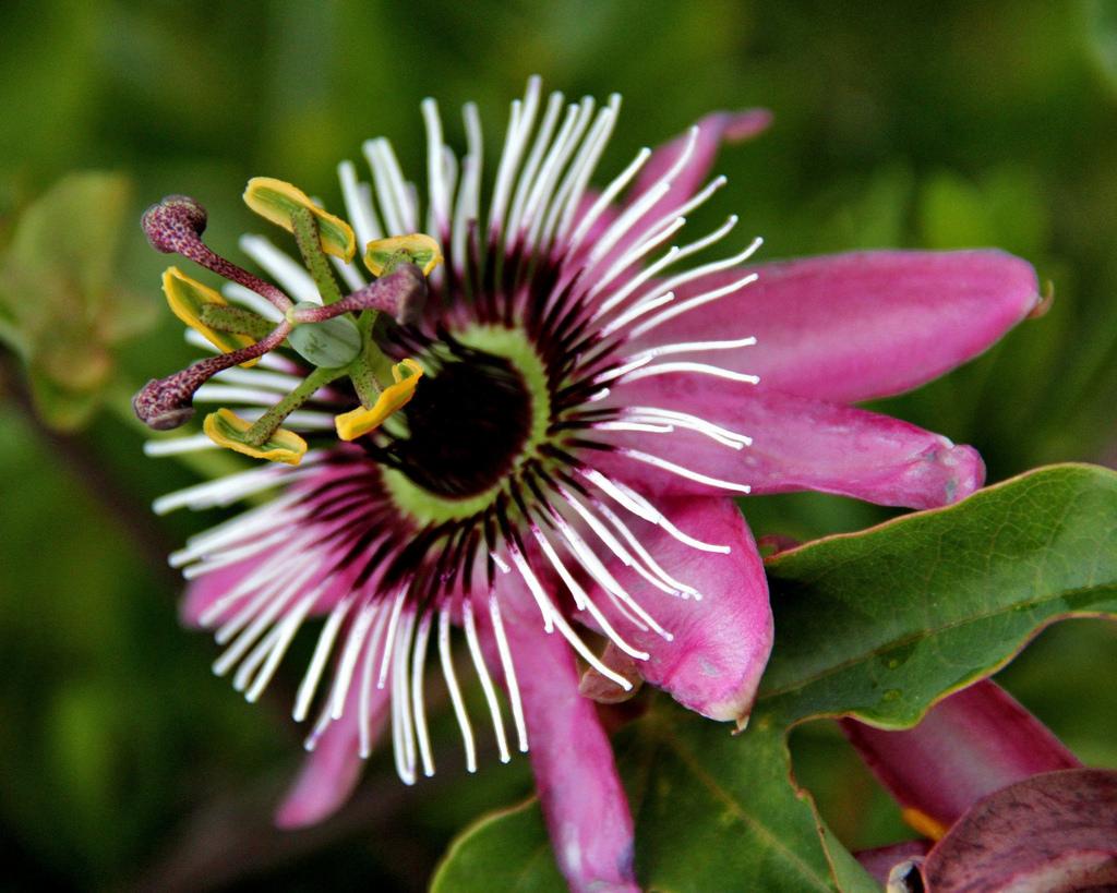 100 лучших фото Лиана пассифлора Красота, польза, вкуснотища