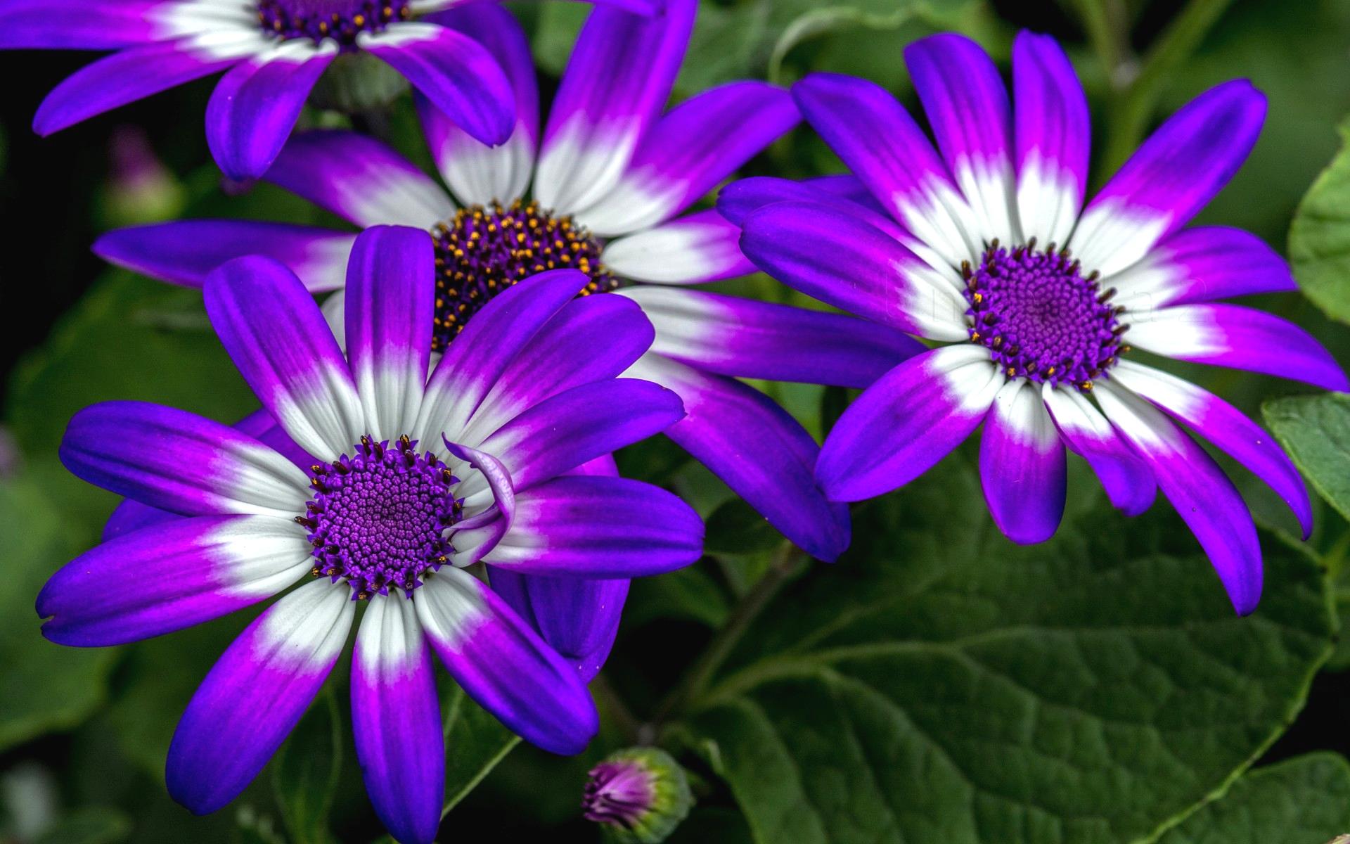 Остеоспермум любит солнечный свет. Обильное цветение полностью зависит от климатических условий выращивания