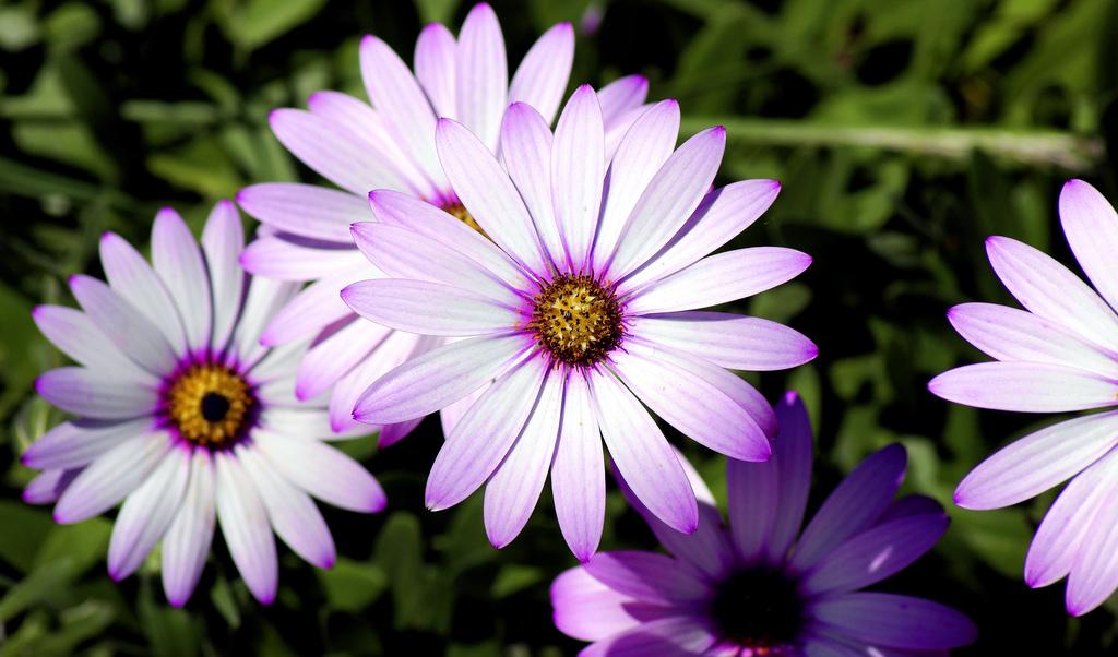 Выбирайте незатененный участок сада для посадки остеоспермума