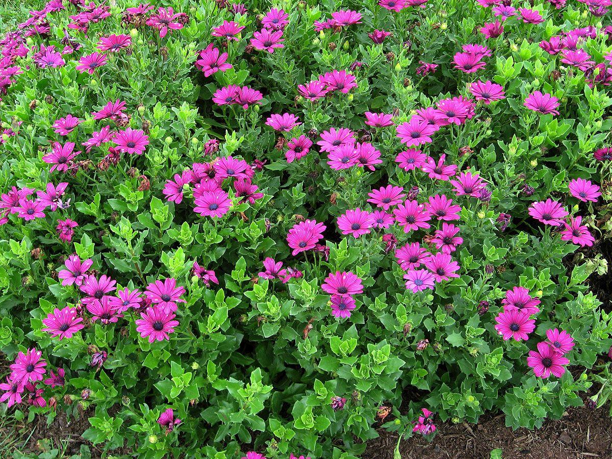 Выращивать остеоспермум можно как однолетнее растение