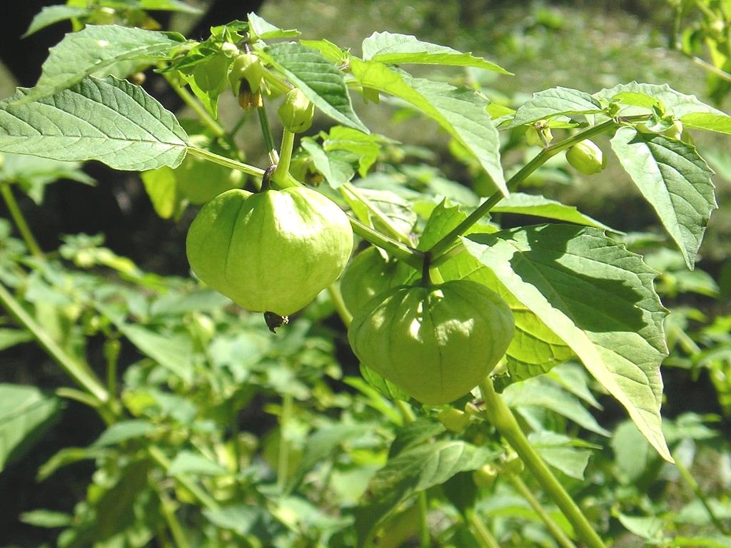 Физиалис кондитерский один из множества разновидностей растения