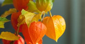 (90+ фото) Физалис — выращивание и грамотный уход фото