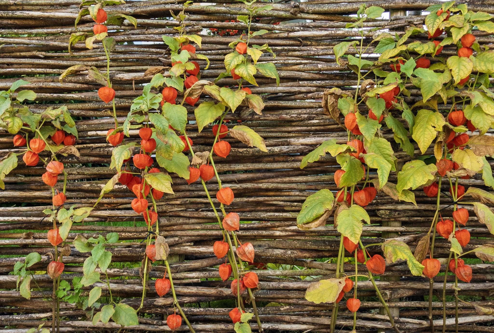 Размножают физалис делением, черенкованием и семенами