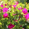 Ночной цветок мирабилис (95+ фото): все, что нужно знать о сортах, посадке и уходе фото