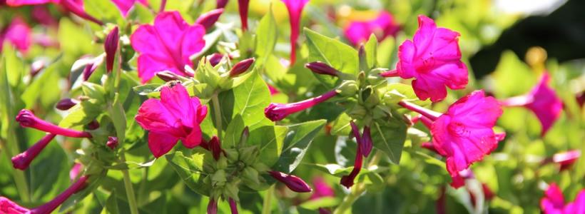 Ночной цветок мирабилис (95+ фото): все, что нужно знать о сортах, посадке и уходе