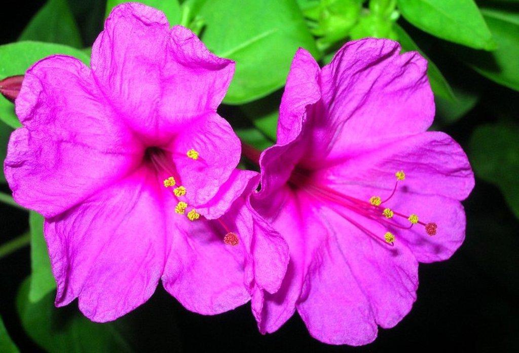 Яркий фиолетовый цветок мирабилис