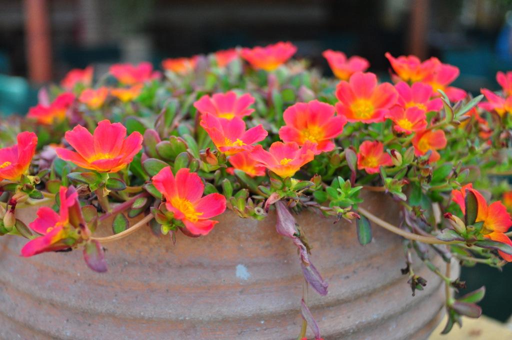 Портулак привлекает своими яркими цветами разнообразной расцветки
