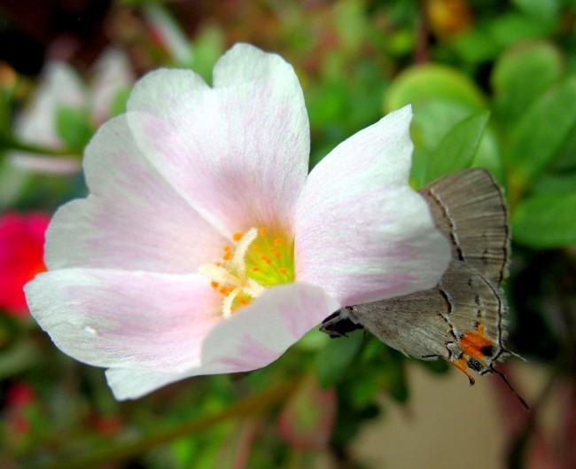 Белый портулак приютил в своих лепестках бабочку