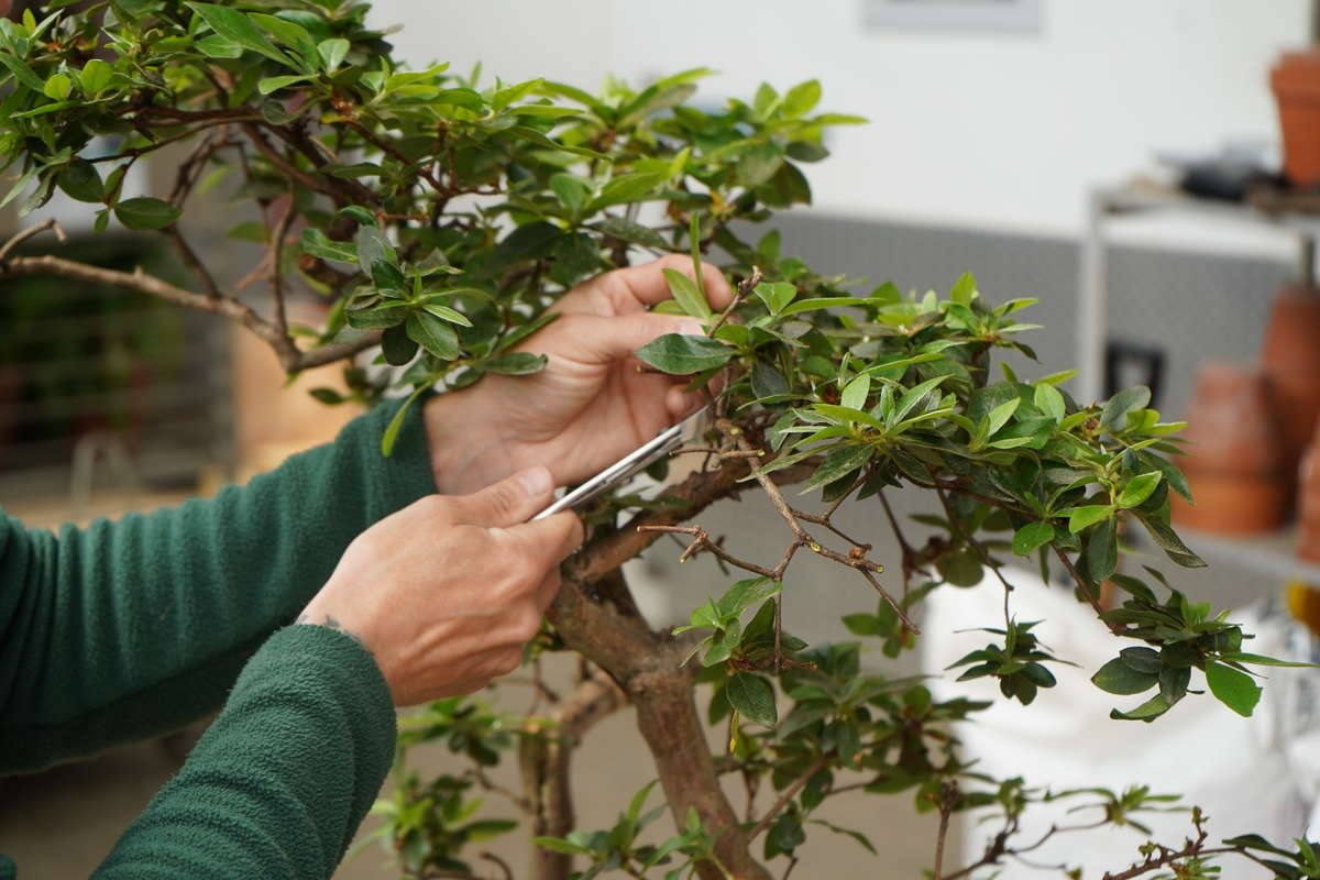 Придание определенного внешнего вида карликовому дереву