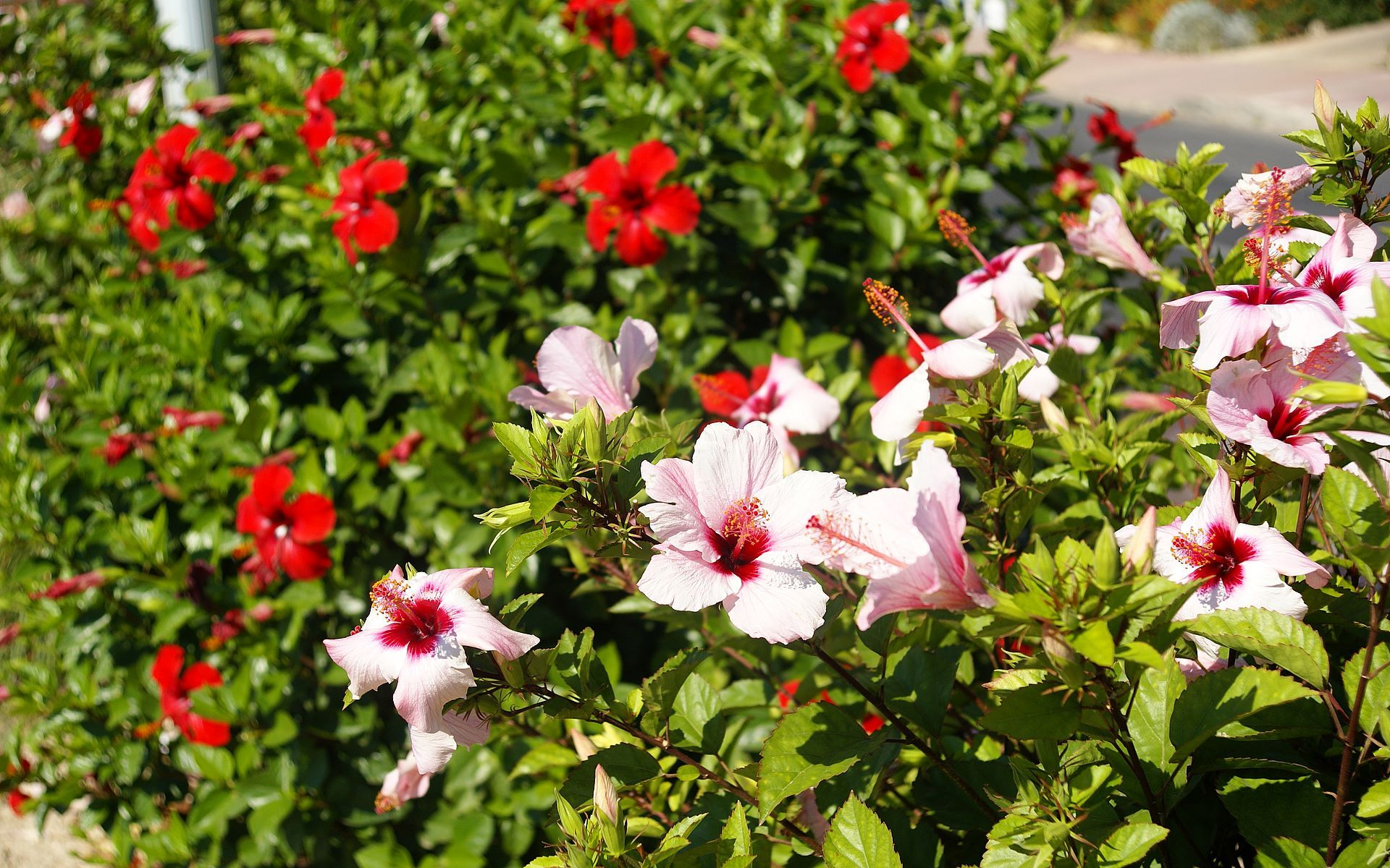 Сирийская роза послужит прекрасным украшением вашего загородного участка