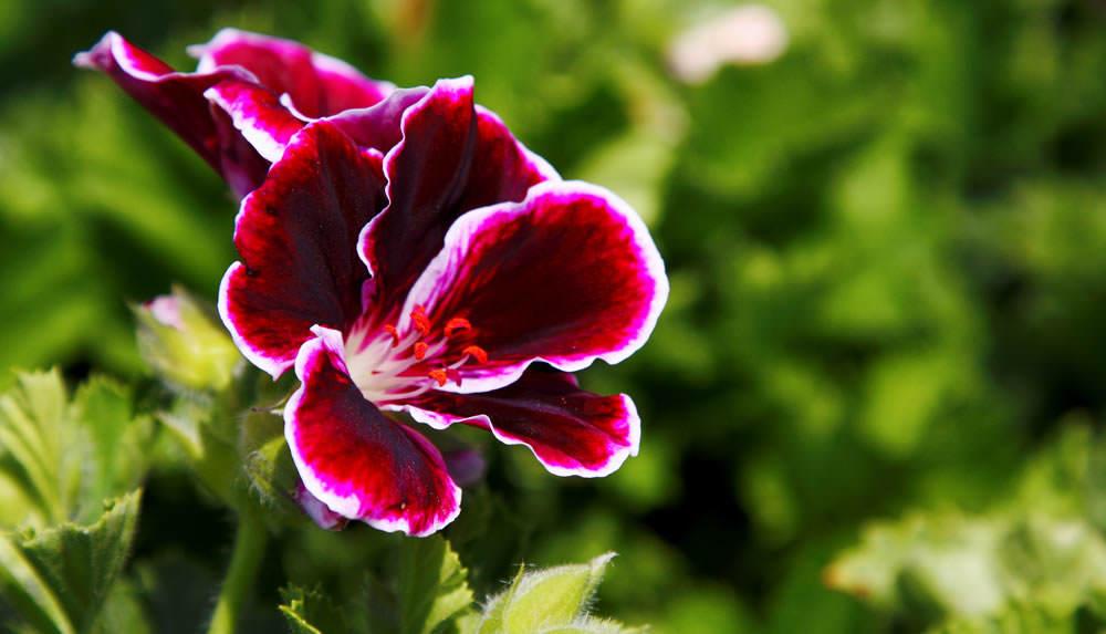 Пеларгония крупноцветковая (grandiflorum) популярна и любима садоводами за глубокий бархатный цвет