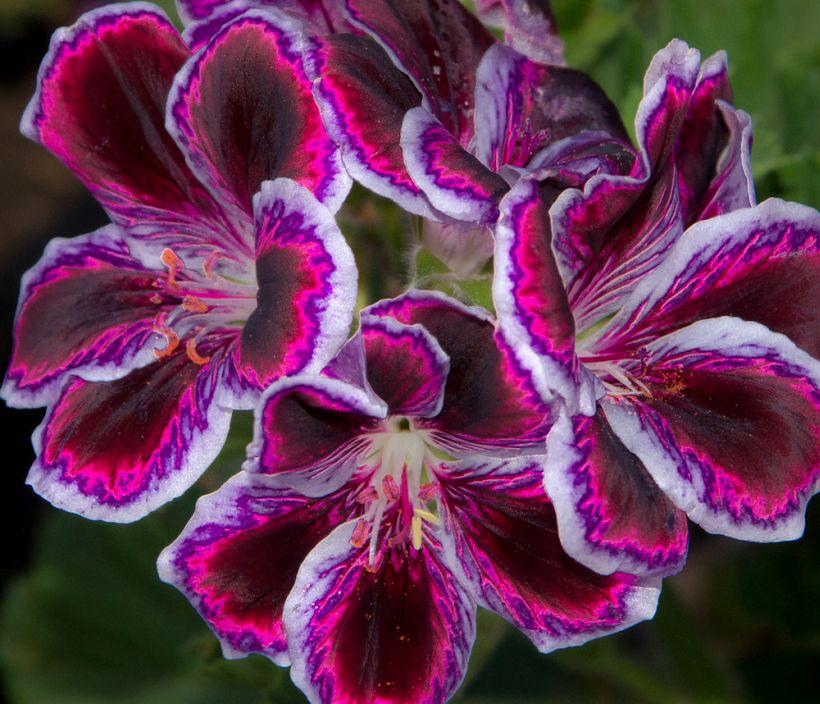 Пеларгония крупноцветковая (Pelargonium grandiflorum) встречается реже, чем ее близкая родственница пеларгония зональная