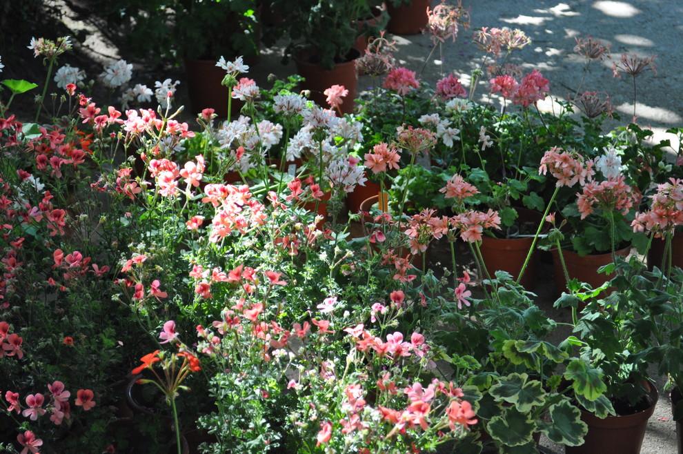 70 прекрасных фото Королевская герань или пеларгония