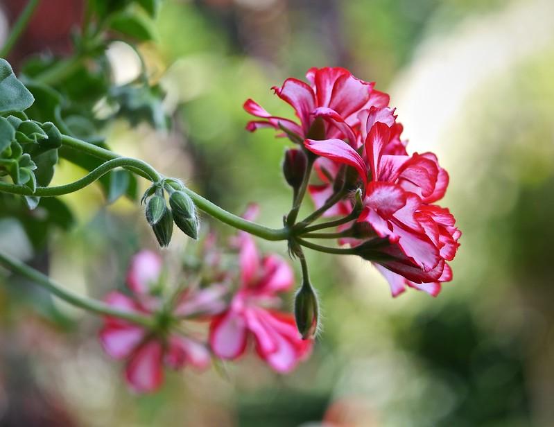 Пеларгония - любимица цветоводов во всех странах мира